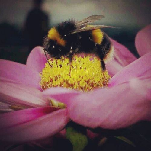 #bumblebee #bee #insect #flower #summer #macro #love #instagood #tweegram #photooftheday #instagramtagsdotcom #instamood #me #summer #picoftheday #instagramhub #girl #instadaily #beautiful #bestoftheday #igdaily #instatags #webstagram #picstitch #nofilter #happy #sun #follow #instagramers