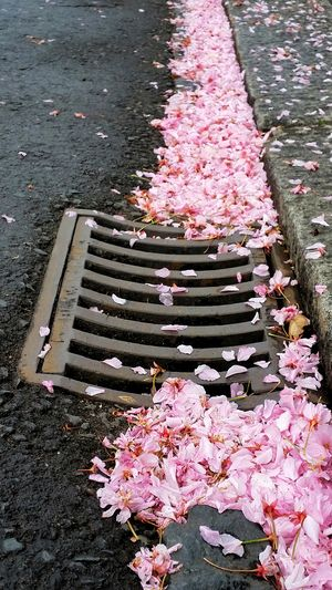 'Beauty in the Gutter' Beauty Of Decay Drain Cover Cherry Blossom Petals🌸 Art Is Everywhere