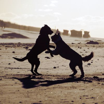 Cute Dogs are Dancing in the Sunset . Love Peace Harmony Nordsee Langeoog