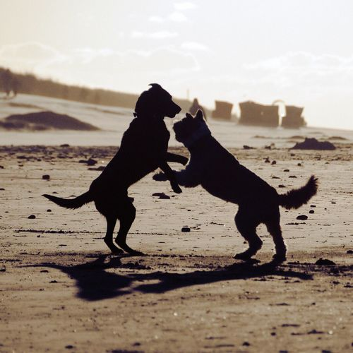 Silhouette dogs playing at beach against sky