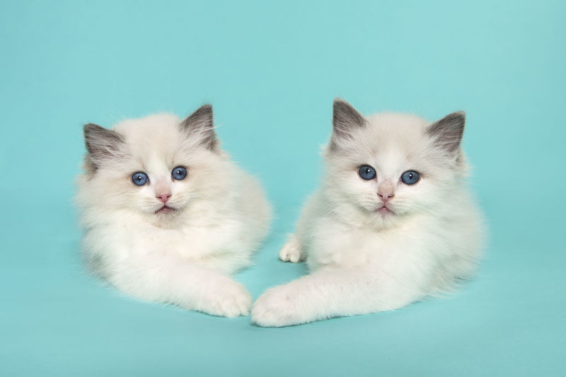 Portrait of cats against white background