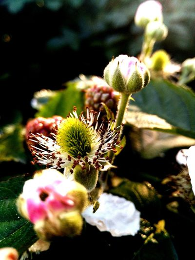 Flower No Pedals Dying Blooming Blackberries Fall October Nature No People Outdoors Fragility Macro Macro_collection Nature Plant