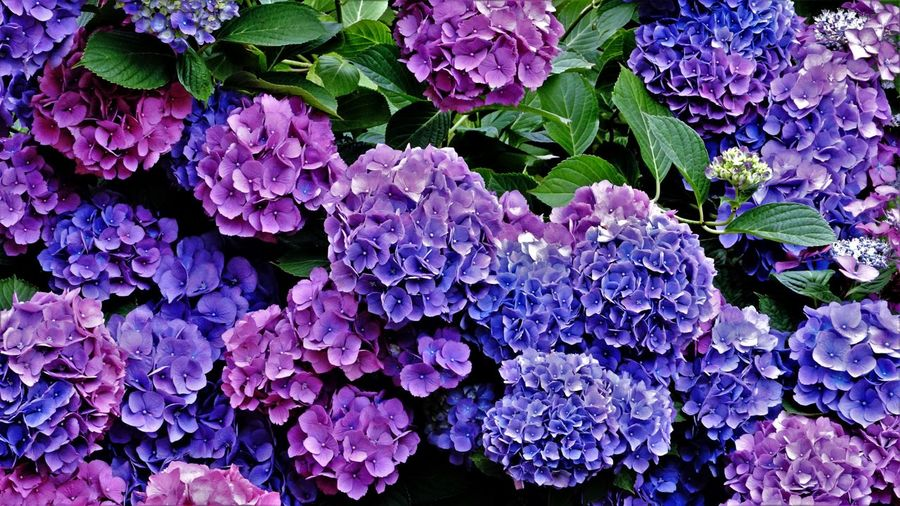 High angle view of purple hydrangea flowers