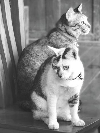 Domestic Cat Animal Themes Pets Mammal Domestic Animals Cats Catsagram Catoftheday Catsofinstagram Cats 🐱 Catlovers Catofinstantgram Catofeyem Sister ❤ Pet Portraits Black And White Friday