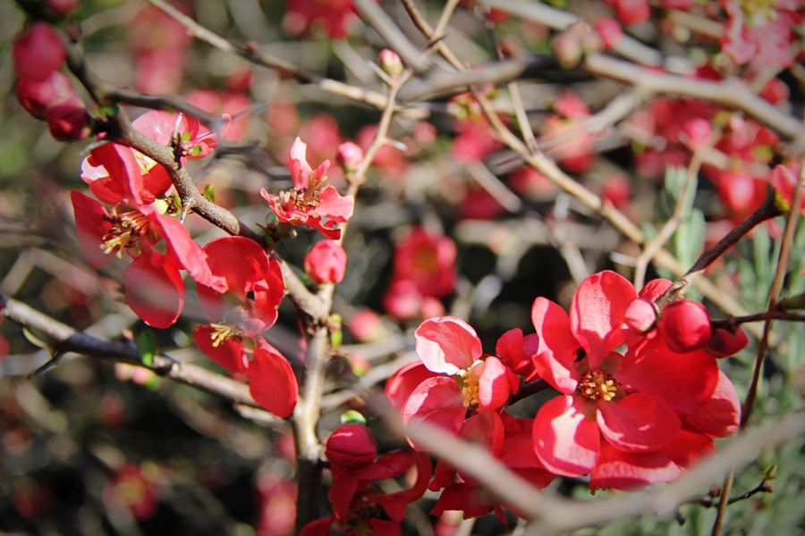 Flower Growth Beauty In Nature Petal Fragility Nature Red Blossom No People Branch Pink Color Close-up