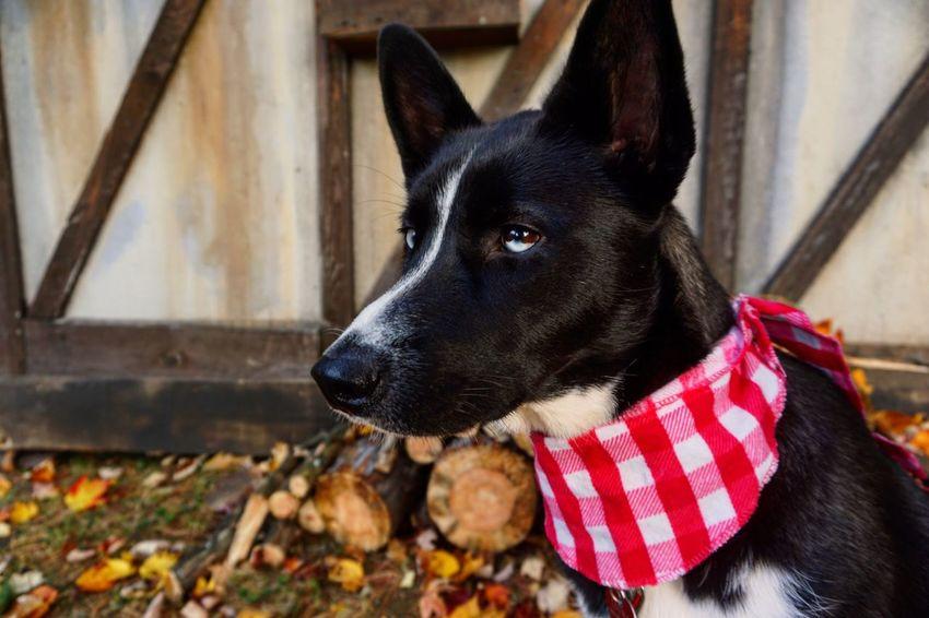 Beautiful lady 💕 Dog Husky Huskysiberian Huskyalaska Domestic Animals Autumn Shawinigan Blueandbrowneyes Photography Photooftheday Afrernoon Followme