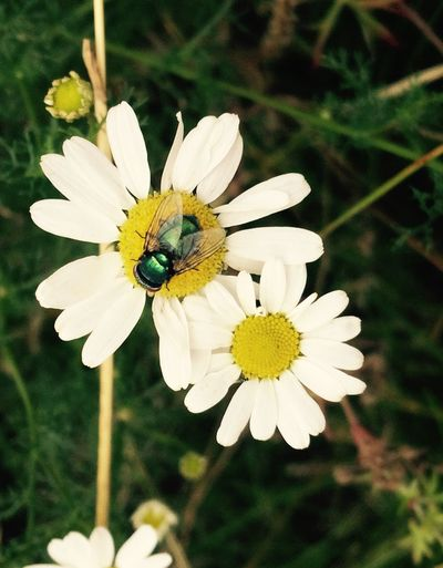 Emerald fly Insect Flower Daisy NoEditNoFilter IPhoneography PhonePhotography Mobile Photography