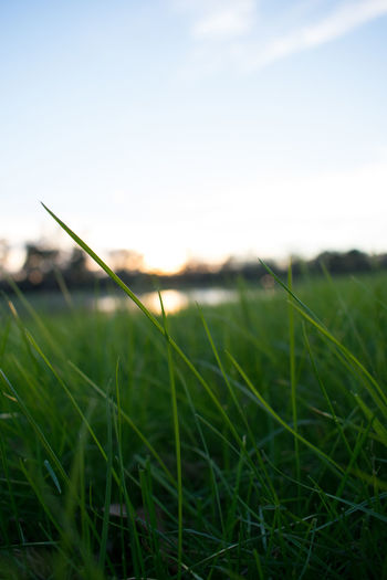 Close-up of grass in field against sky