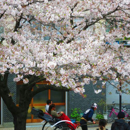 お花見 桜 Cherry Blossoms 人力車 浅草 Japan Tokyo,Japan