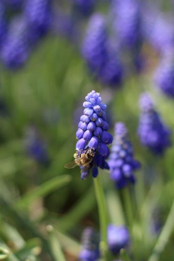 EyeEm Selects Green Garden Photography Insect Spring Flower Flower Head Purple Outdoor Pursuit Close-up Plant Bee Honey Bee Lavender The Traveler - 2018 EyeEm Awards EyeEmNewHere The Great Outdoors - 2018 EyeEm Awards