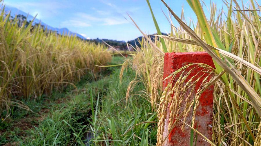 Rice Indonesia_photography Kuninganjabar INDONESIA Panoramaalamindonesia Outdoors Yellow Indonesian Food