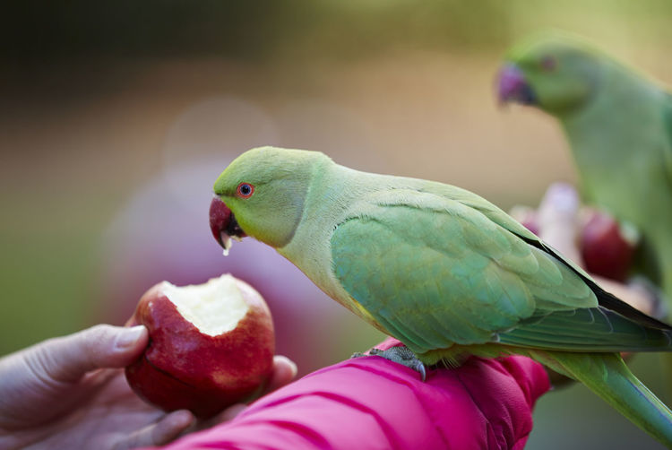 A Parakeet eating an apple on someone's arm. Animals In The Wild Arm Beak Bird Close-up Do Not Feed The Birds Eating Feeding  Feeding  Focus On Foreground Green Color Human Finger Hyde Park Parakeets Parrot Perching Person Pink Selective Focus Wildlife