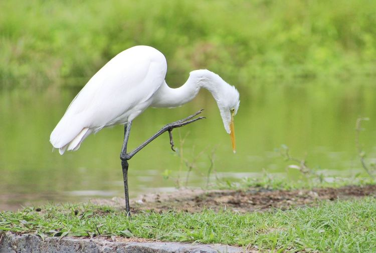 Side view of white crane on riverbank