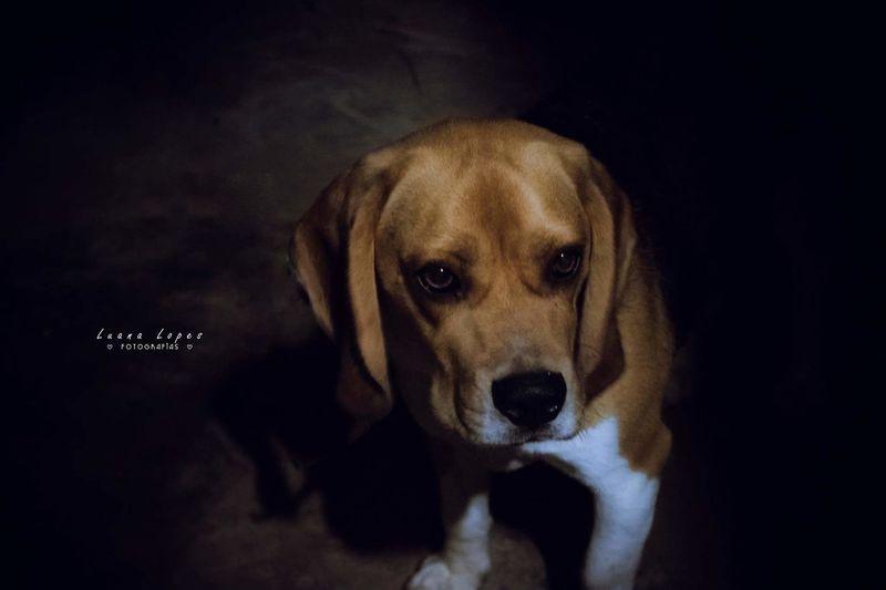 Beagle Beagle Dog Photography Fotografia Canon PhotographyDog