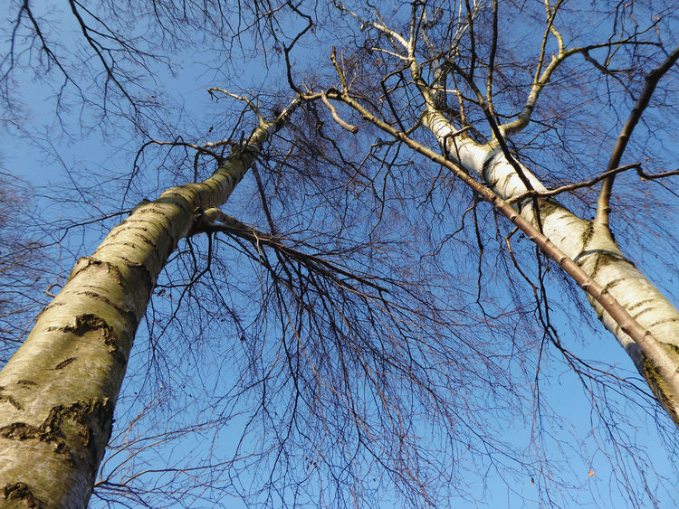 such a beautiful day🌞 Missing Someone Looking Up😍 Perfect Sky Birches And Blue Sky😍 For My Friends😚 Naturelove Lucky Me🦄 Low Angle View Tree Day Blue Branch No People Tree Trunk Beauty In Nature