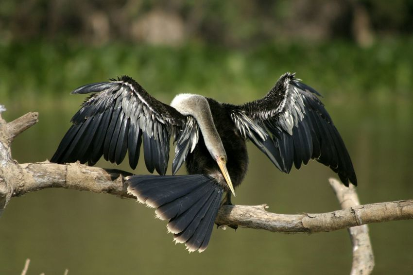 Drying Wings In Sun Drying Off Resting Branch Wings Wings Spread Darter Bird Darter Snakebird Pantanal Brazil Mato Grosso Mato Grosso Do Sul Bird Beauty In Nature No People Animals In The Wild One Animal Nature Outdoors Waterbird Animal Wildlife Water Close-up Preening Perspectives On Nature