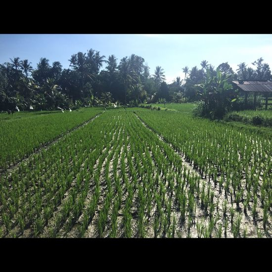 Agriculture Bali Beauty In Nature Blue Cereal Plant Crop  Cultivated Cultivated Land Day Farm Field Flower Freshness Green Color Growth Landscape Nature Outdoors Plant Plantation Rural Scene Scenics Tranquil Scene Tranquility Tree
