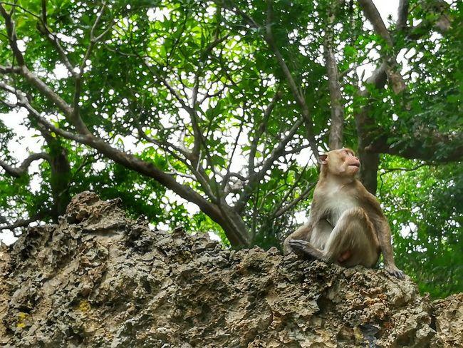ลิงถ้ำเขาหลวง Monkey Tree Animal Wildlife Animal Animals In The Wild One Animal Outdoors Animal Themes Low Angle View Domestic Animals Huaweiphotography EyeEm Thailand Huawei Collection