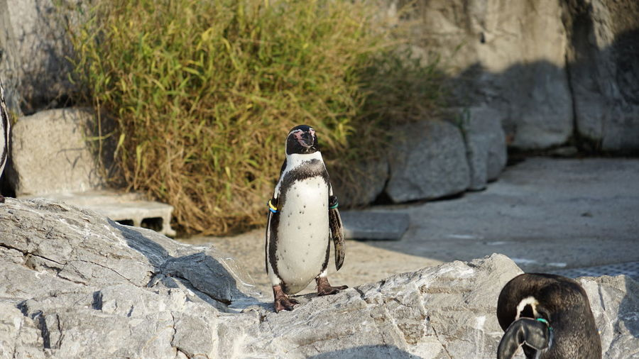 Rock - Object Perching Penguin Outdoors One Animal No People Nature Mourning Dove Day Bird Animals In The Wild Animal Wildlife Animal Themes EyeEmNewHere