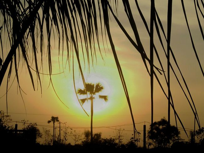 Palm Tree Coconut Palm Tree Silhouette Dramatic Sky Rural Scenes Mobilephotography My Passion ❤ Beauty In Nature At My Farm Njoying Myself EyeEm Nature Lover EyeEm Gallery Eyeemphotography Getty Images EyeEm Incredible India With Love From India💚 Keep Smiling Always 😊 Truly..urs... Nitin 🌹