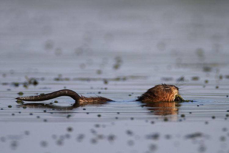Muskrat swimming on the lake, crna mlaka