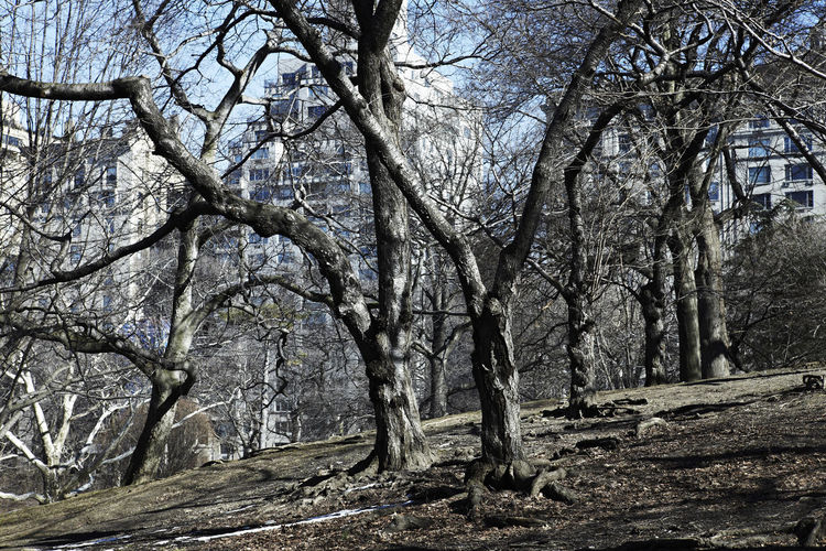 Bare trees in Central Park in February. Central Park Cool February New York Winter Bare Trees Beauty In Nature Branch Cold Temperature Day Forest Landscape Nature No People Outdoors Sky Tranquility Tree Tree Trunk