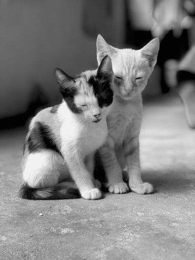 Brother Cat Iphone8plus Portrait Bw Blackandwhite Rio De Janeiro Brazil Brothers Love Cats Domestic Cat Feline Group Of Animals Two Animals Focus On Foreground No People Sitting Young Animal Relaxation Kitten Whisker Animal Family