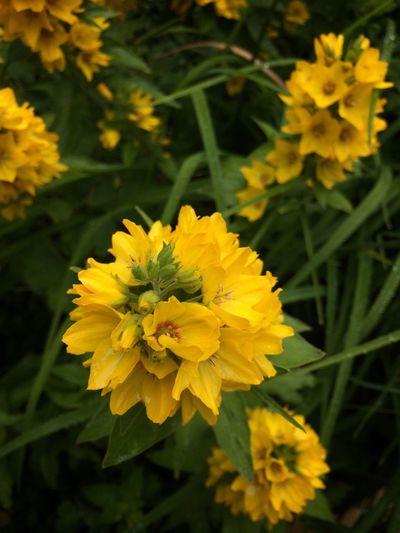 Flower Yellow Nature Beauty In Nature Godthåb Tadaa Community Danmark Nature