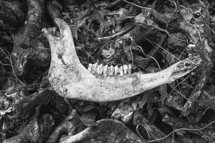 Bone  Animal Bone Animal Skeleton Animal Skull Animal Body Part No People Animal Land Nature Close-up Animal Themes Body Part Day Outdoors Animal Head  Animal Teeth Jawbone Jaw Cheekbone Cow Decay Death