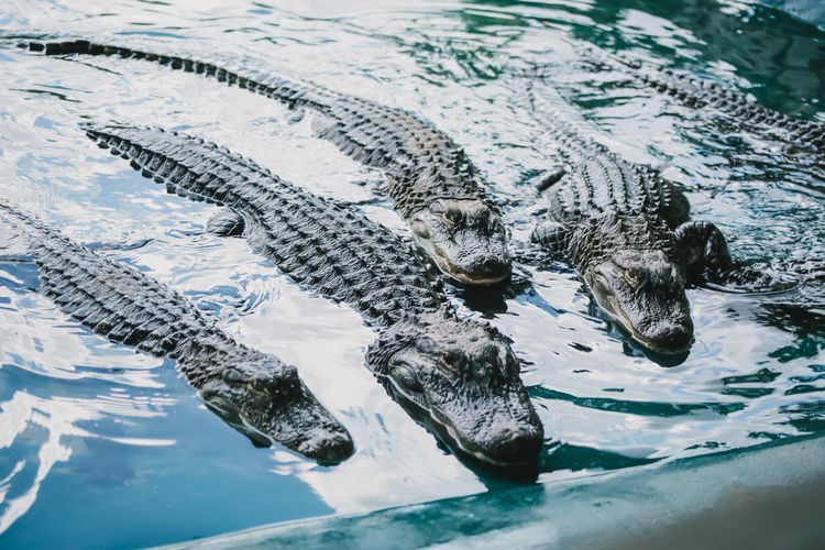 Alligators in water