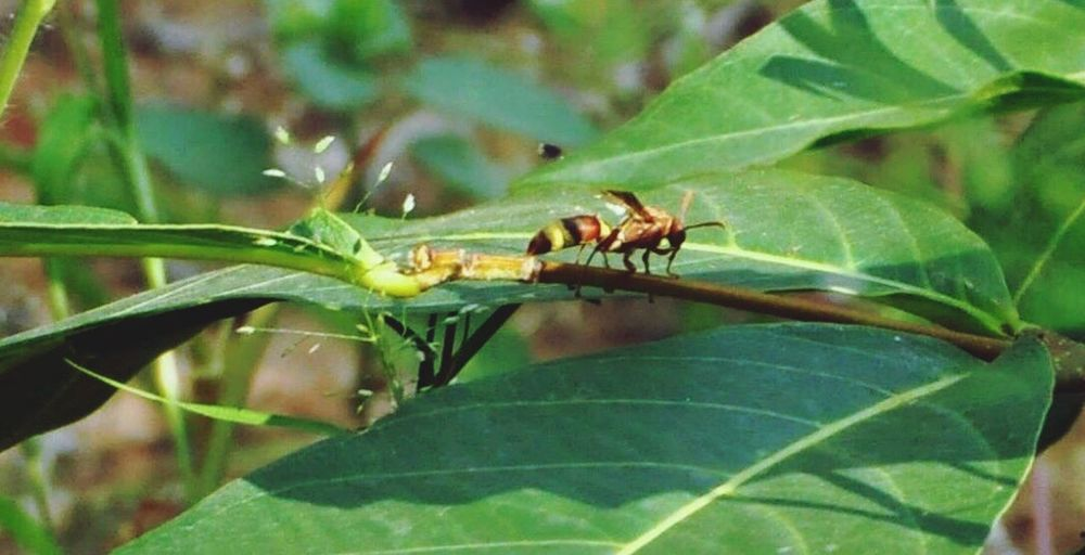 Nature India Leaf Insect Green Color Indian Bandhavgarh National Park Bandhavgarh Outdoors