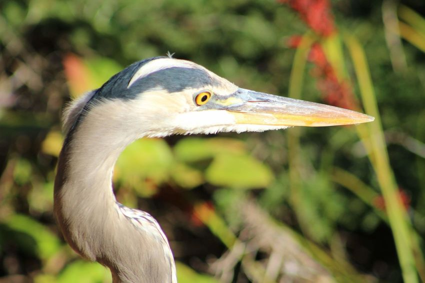 Great blue heron close-up Feathers Long Legs Branches Sunny Day Plants Nature_collection No Filter Purist No Edit No Filter Nature Bird Beak Close-up Animal Body Part HEAD Animal Eye Profile Great Blue Heron Yellow Eyes Freshwater Bird