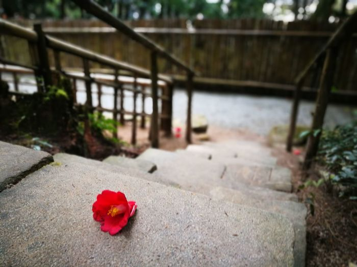 Long Goodbye Red No People Day Outdoors Nature Close-up Flower Flower Head Japonica Camellia Japonica Stairs