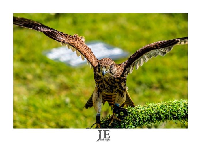 Bird Animals In The Wild One Animal Animal Themes Animal Wildlife Focus On Foreground Day Outdoors No People Nature Spread Wings Bird Of Prey Perching Close-up Full Length
