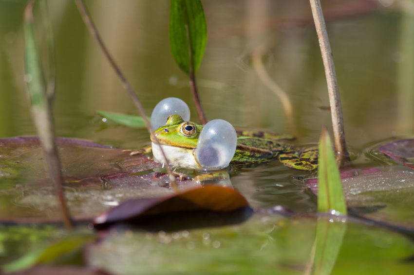 Amphibia Amphibian Amphibian Photography Amphibians Amphibien Anura Common Water Frog Green Frog Nature Nature Photography Nature_collection Pelophylax Pelophylax Esculentus Ranidae Tiere Tiere/Animals