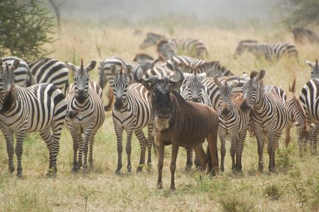 Adopted Africa Kenya Lost Masai Mara Oddmanout One Of These Things Is Not Like The Other... Safari Animals Savannah Striped Wildebeest Zebra