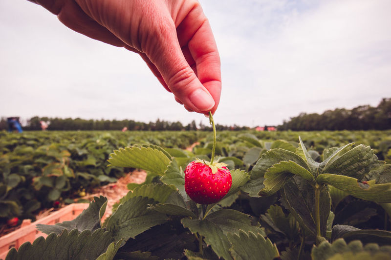 Hand of person holding strawberry on field against sky