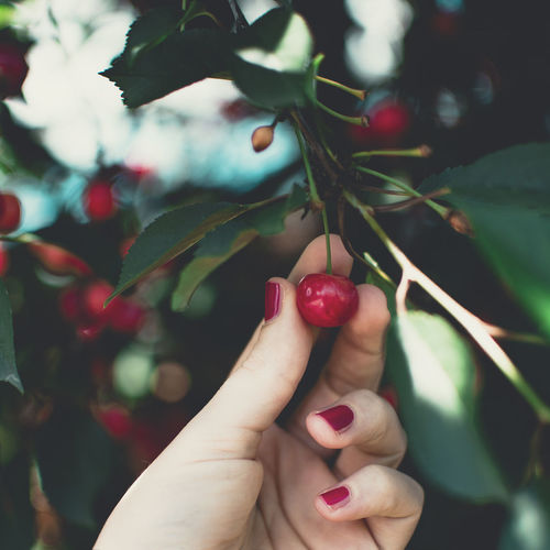 Black Cherry Cherry Tree Cherries Red Nails Nature Farm To Table Vegan Red Fruits Woman Hand Summer Yummy Red Color Tree Human Hand Tree Nail Polish Women Fruit Red Branch Leaf Holding Close-up Fingernail Cherry Picking Fruit Tree
