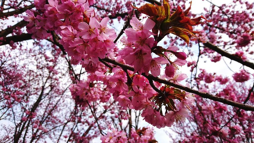 Spring Springtime Cherry Blossom Kings Garden Copenhagen Pink Love My City Sakura