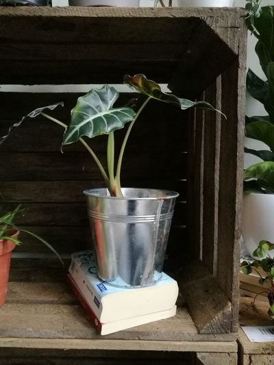 Alocasia Bambino Wood Wooden Wooden Post Home Interior Home Plant Interior Design Home Hoarder Plant Indoors  No People Growth Flower Orchid Water