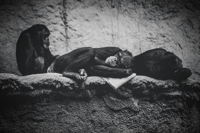 Showcase: February Zoo Zoo Animals  Apes Blackandwhite Black & White Animals Sad Sadness Sad Face