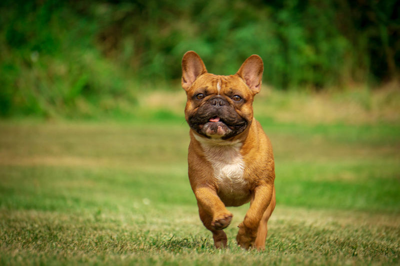 Hundefotografie Tierfotografie Dogs Of EyeEm Französische Bulldogge  Hundeportrait EyEmselect Düsseldorf Butsosexy Dogs Life Dogs Hunde Twerk #hundefoto EyeEm Selects Pets Portrait Dog Looking At Camera Grass