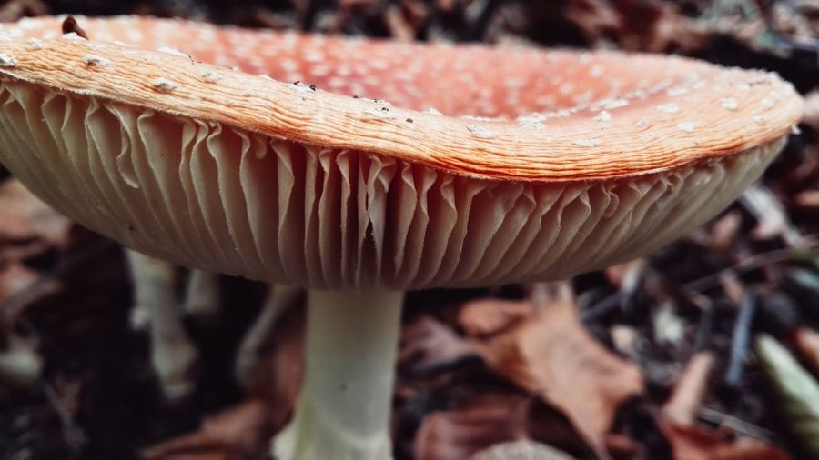 Mushroom Fungus Toadstool Close-up Nature Beauty In Nature Outdoors Growth No People Day Forest Freshness Macro Photography Macro EyeEm Nature Lover Mushroom Collection Amazing Colour Mushrooms Growing Wild Mushrooms Eyeem Mushrooms Gallery Mushroom Hunting Mushroom Photography Mushroom_pictures Mushrooms 🍄🍄 Poisonous Mushroom (Jaworze, Poland - October 2017)