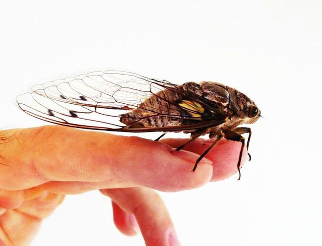 Cigarra Buzzer Human Body Part Insect One Person One Animal Animal Themes Human Hand Adult Animal Wildlife Close-up