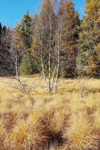 Betula pendula and Deschampsia cespitosa Tree Beauty In Nature Breathing Space