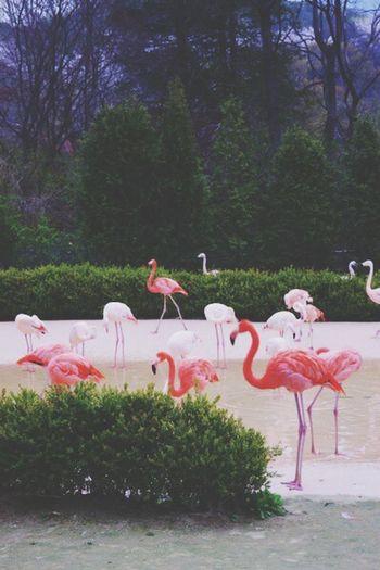 Zoo Flamingo