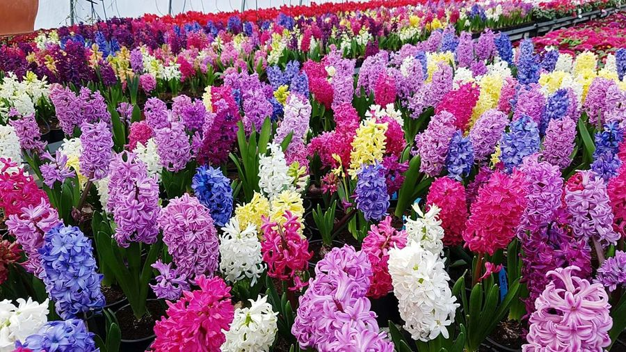 Flower Freshness Nature Beauty In Nature Fragility Growth No People Plant Backgrounds Full Frame Purple Flower Head Outdoors Day Hyacinth,spring HyacinthFlowers Hyacinthus Hyacint Hyacinth Flower Hyacinths Hyacinth Blooming Growth Plant Freshness