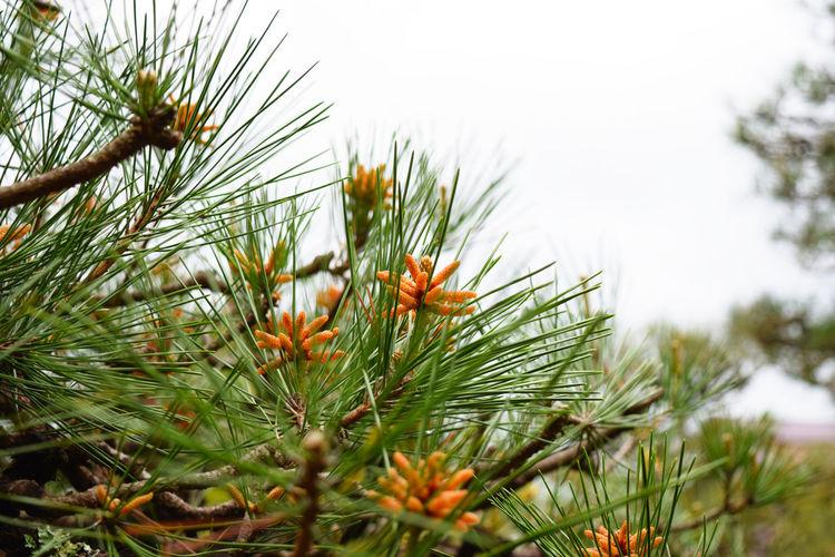 Pine tree and