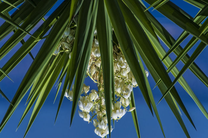 Blossom Beauty In Nature Blossom Blue Botany Close-up Day Detail Frond Full Frame Green Green Color Group Of Objects Growth Low Angle View Nature Palm Leaf Plant Scenics Sky Tranquility Vibrant Color Yucca