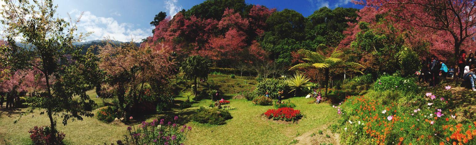 Sakura Chiang Mai | Thailand